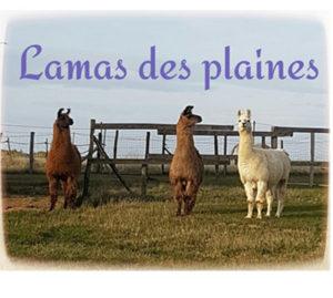 Trois lamas de l'élevage Lamas des Plaines
